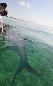Fly fishing for tarpon in Key West